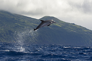 Atlantic Spotted Dolphin, Stenella frontalis, breaching high in the air, with Pico in the background, Azores, Atlantic Ocean
