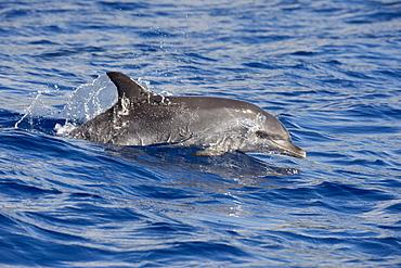 Atlantic Spotted Dolphin, Stenella frontalis, porpoising, Azores, Atlantic Ocean