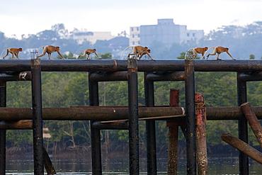 Troop of Proboscis monkey (Nasalis larvatus) walking on water pipes. Balikpapan bay, East Kalimantan, Borneo, Indonesia, Southeast Asia, Asia