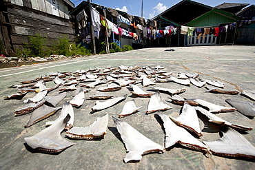 Shark fins being dried on a playground in the village. Balikpapan suburb, East Kalimantan, Borneo, Indonesia, Southeast Asia, Asia
