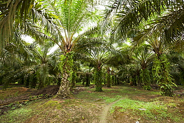 African oil palm (Elaeis guineensis) in an oil palm plantation, East Kutai Regency, East Kalimantan, Borneo, Indonesia, Southeast Asia, Asia