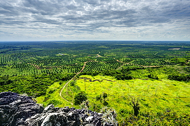 Vast area of oil palm plantations. HDR photo. Kengbeng, East Kutai Regency, East Kalimantan, Borneo, Indonesia, Southeast Asia, Asia