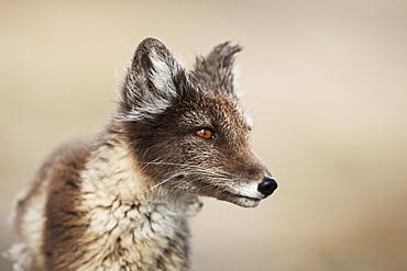 Arctic Fox (Vulpes lagopus) (Alopex lagopus), Svalbard, Norway, Scandinavia, Europe