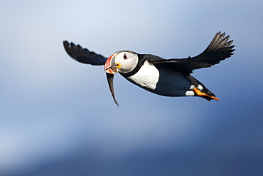 Atlantic Puffin (Fratercula arctica), Svalbard, Norway, Scandinavia, Europe
