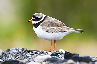 Common ringed plover (ringed plover) (Charadrius hiaticula), Svalbard, Norway, Scandinavia, Europe