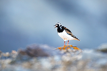Ruddy turnstone (Arenaria interpres), Svalbard, Norway, Scandinavia, Europe