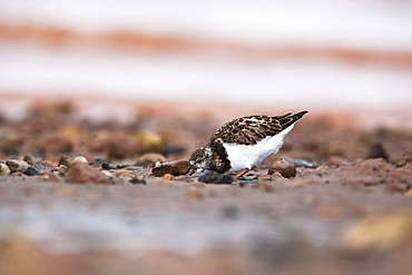 Ruddy turnstone (Arenaria interpres) juvenile, Svalbard, Norway, Scandinavia, Europe