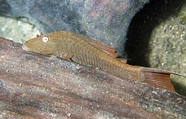 Siluriform catfish, Prata River, Bonito, Mato Grosso do Sul, Brazil, South America