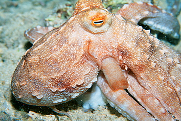 Ornate octopus (Octopus ornatus) at night. Oahu, Hawaii, United States of America, Pacific