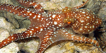Starry night octopus (Octopus luteus) foraging on coral reef at night, Malapascua, Cebu, Philippines, Visayan Sea, Southeast Asia, Asia
