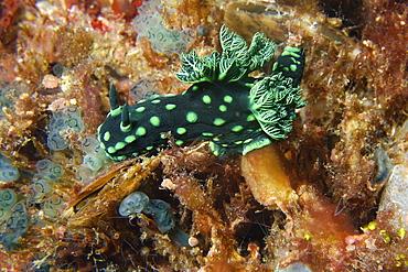 Nudibranch (Nembrotha cristata), Gato Island, Cebu, Philippines, Southeast Asia, Asia
