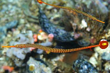 Pair of orange banded pipefish (Doryrhamphus pessuliferus), Gato Island, Cebu, Philippines, Southeast Asia, Asia