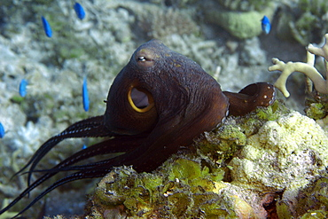 Reef octopus (Octopus cyanea), crawling over reef, Ailuk atoll, Marshall Islands, Pacific