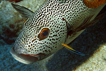 Dotted sweetlips (Plectorhinchus picus), being cleaned by bluestreak cleaner wrasse (Labroides dimidiatus), Namu atoll, Marshall Islands, Pacific