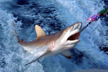 Grey reef shark (Carcharhinus amblyrhinchos) being hooked with long line, Rongelap, Marshall Islands, Pacific