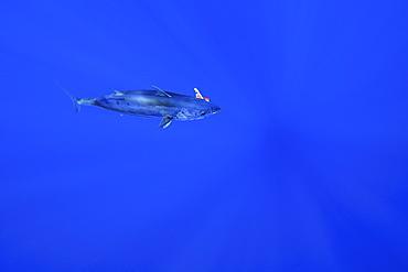 Skipjack tuna (Katsuwonus pelamis) hooked on fishing line, Kailua-Kona, Hawaii, United States of America, North America