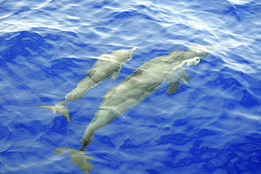 Pantropical spotted dolphin (Stenella attenuata), bow riding near the surface, Kailua-Kona, Hawaii, United States of America, Pacific