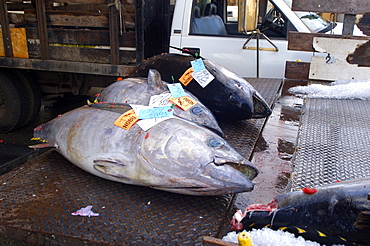 Tuna ready for shipment after fish auction, Honolulu, Oahu, Hawaii, United States of America, Pacific