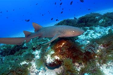 Nurse shark (Ginglymostoma cirratum), Fernando de Noronha, Pernambuco, Brazil, South America