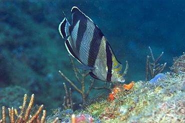 Banded butterflyfish (Chaetodon striatus) foraging, Ilha Escalvada, Guarapari, Espirito Santo, Brazil, South America