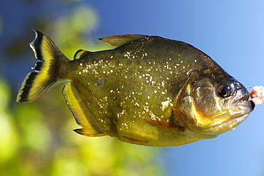 Piranha (Pygocentrus nattereri), a carnivorous fish, caught on a line, southern Pantanal, Mato Grosso do Sul, Brazil, South America