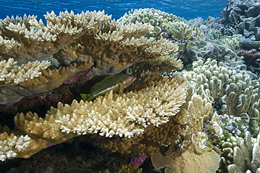 Pristine coral reef, Acropora spp., Rongelap, Marshall Islands, Micronesia, Pacific