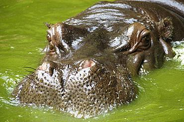 Hippopotamus (Hippopotamus amphibius) head, nostril detail, photo taken in captivity