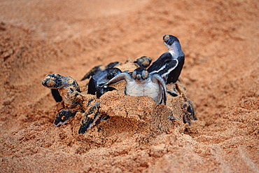 Green sea turtles (Chelonia mydas) hatching, Fernando de Noronha, Pernambuco, Brazil, South America - 920-1936