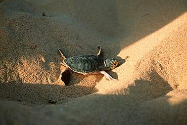 Green sea turtle (Chelonia mydas) hatchling, Fernando de Noronha, Pernambuco, Brazil, South America - 920-1937