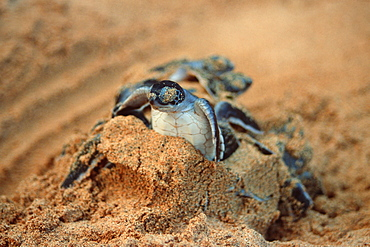 Green sea turtles (Chelonia mydas) hatching, Fernando de Noronha, Pernambuco, Brazil, South America - 920-1938