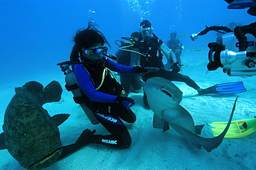 Scuba diver handles nurse shark (Ginglymostoma cirratum) while being filmed, Molasses Reef, Key Largo, Florida, United States of America, North America