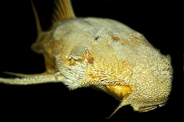 Sucker catfish (Acanthicus hystrix), preserved specimen, Manaus, Amazonas, Brazil, South America