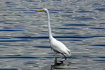 White egret (Casmerodius albus), Pampulha Lake, Belo Horizonte, Minas Gerais, Brazil, South America