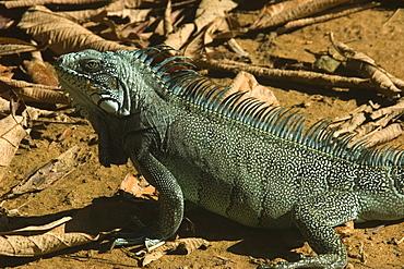 Green Iguana (Iguana iguana). Novo Airao, Amazonas, Brazil, South America