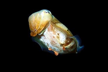 Broadband cuttlefish (Sepia latimanus), Gato Island, Cebu, Philippines, Southeast Asia, Asia