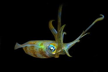 Bigfin reef squid (Sepioteuthis lessoniana), Dumaguete, Negros Island, Philippines, Southeast Asia, Asia
