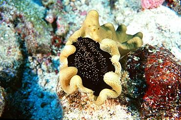 Egg cowrie, Similan Islands, Thailand, Andaman Sea, Southeast Asia, Asia