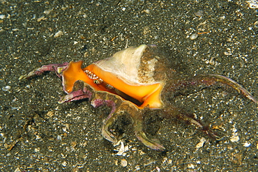 Scorpion conch (Lambis sp.) peeking out its shell at night, Dumaguete, Negros, Philippines, Southeast Asia, Asia
