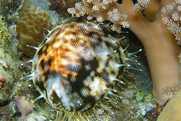 Tiger cowrie (Cypraea tigris) at night, Short drop-off, Palau, Caroline Islands, Micronesia, Pacific Ocean, Pacific