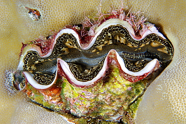 Small giant clam (Tridacna maxima) surrounded by lobe coral (Porites lutea), Namu atoll, Marshall Islands, Pacific