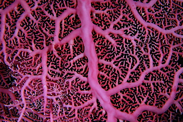 Pink hydrocoral (lace coral) (Stylaster sp.), Namu atoll, Marshall Islands, Pacific