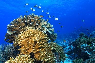 Reticulated dascyllus (Dascyllus reticulatus) hover over coral bommie, Rongelap, Marshall Islands, Micronesia, Pacific
