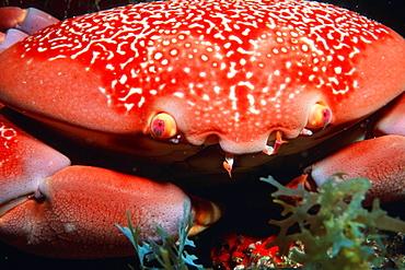 Batwing coral crab (Carpilius corallinus), Praia do Sancho, Fernando de Noronha, Brazil, South America