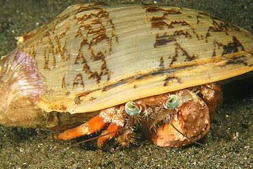 Anemone hermit crab (Dardanus pedunculatus), Dumaguete, Negros Island, Philippines, Southeast Asia, Asia
