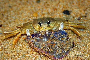 Crab preying on dead portuguese man-of-war (Physalia physalis), Praia do Forte, Bahia, Brazil, South America