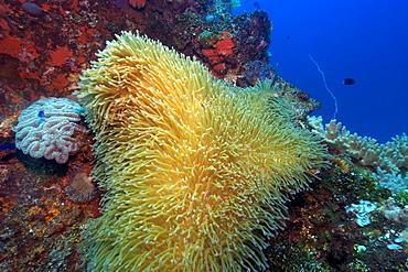 Gigantic sea anemone (Stichodactyla gigantea) hosting pink anemonefish (Amphiprion periderion), Fujikawa Maru, Truk lagoon, Chuuk, Federated States of Micronesia, Caroline Islands, Micronesia, Pacific Ocean, Pacific