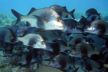 School of black margrates (Anisotremus surinamensis), Ilha do Meio, Fernando de Noronha national marine sanctuary, Pernambuco, Brazil, South America