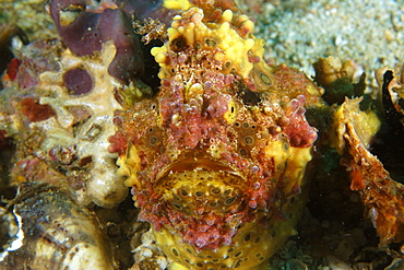Warty frogfish (Antennarius maculatus), head detail, Gato Island, Northern Cebu, Philippines, Visayan Sea, Southeast Asia, Asia
