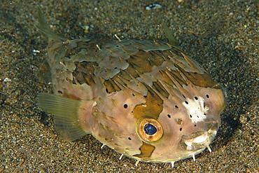 Balloonfish (Diodon holocanthus), Sahara, Dumaguete, Negros, Philippines, Southeast Asia, Asia