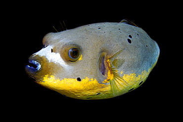 Blackspotted puffer fish (Arothron nigropunctatus), Dumaguete, Negros, Philippines, Visayan Sea, Southeast Asia, Asia